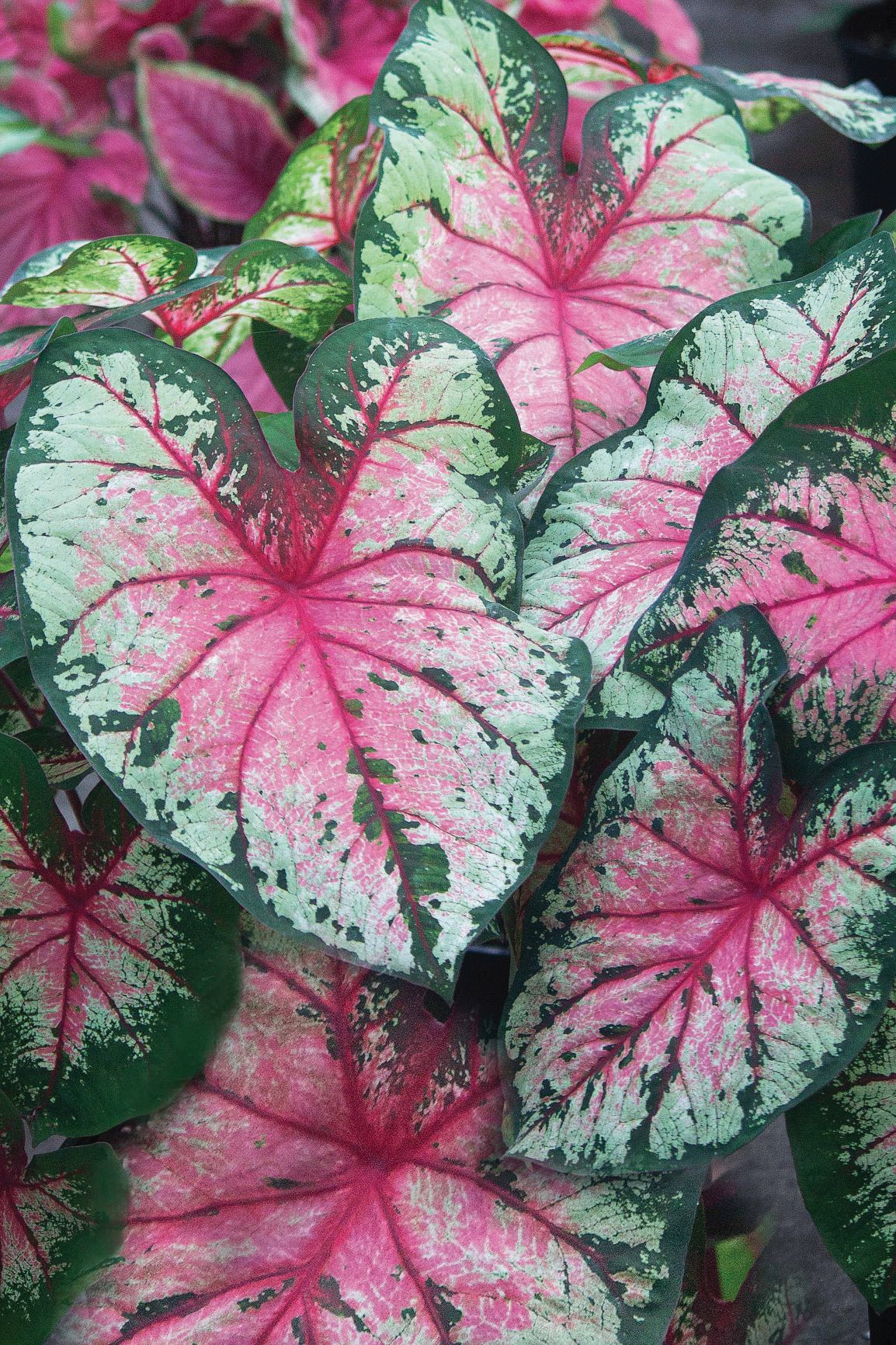 Caladiums Online - Bates Sons and Daughters - High Quality