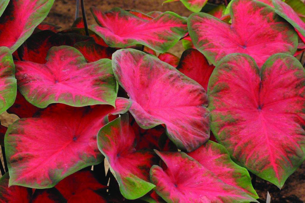 Pink Christmas Bulbs