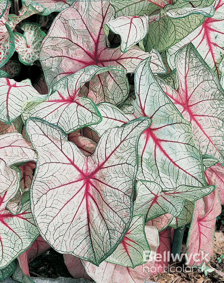 Caladiums Online Bates Sons And Daughters High Quality