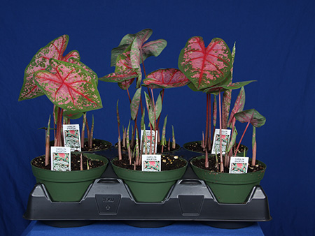 caladium bulbs planting instructions